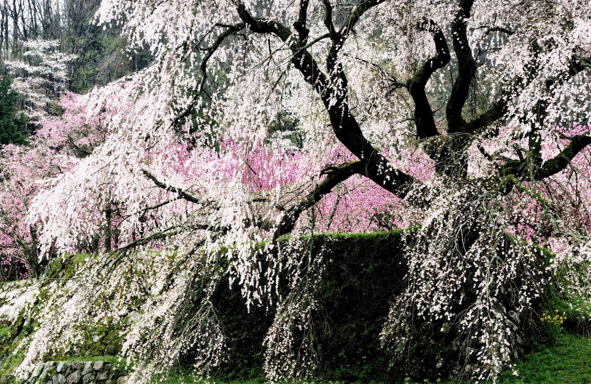 Kyoto in April, Sakura, PANAMY Flower Delivery Switzerland